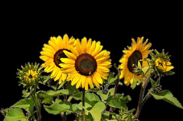 Pár tipov pre pestovanie slnečníc