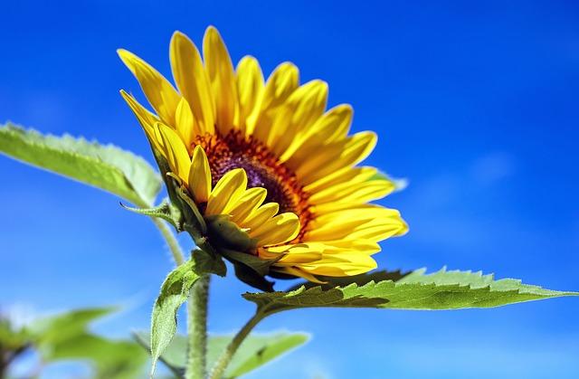 krásná slunečnice